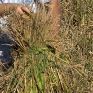 Imatges de la Festa de la Sega i la Plantada de l'arròs